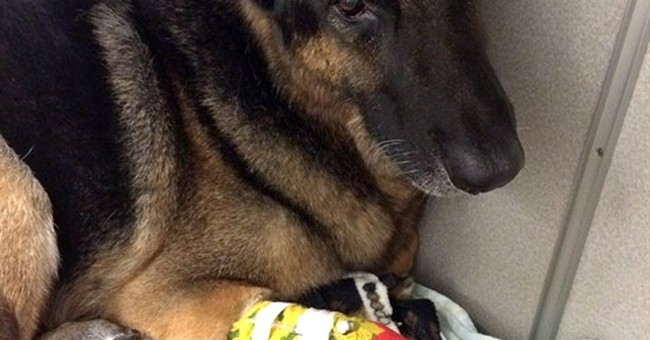 German shepherd helps rescue children from burning home